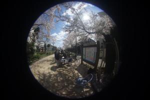 Sakura_org
